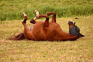 Pferd, das sich wälzt